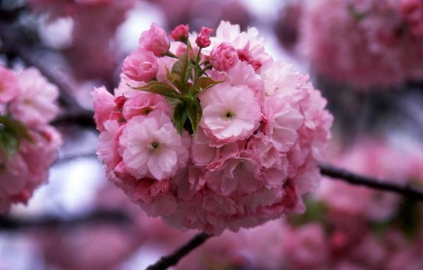 今年の桜紅手毬